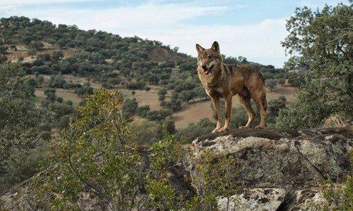 Parque sierra cardeña montoro-lobo 2