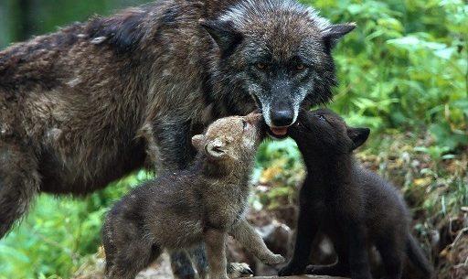 propietarios-terrenos-forestales-rechazan-recuperacion-lobo
