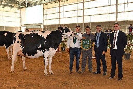concurso-ganado-frisón-vacas