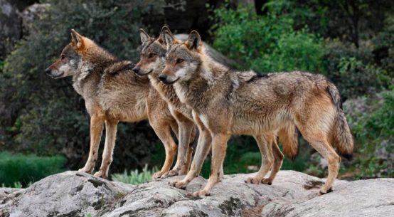 ayuntamiento-villanueva-cordoba-lobo-iberico