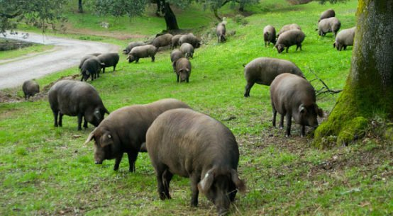 manifiesto-defensa-cerdo-iberico