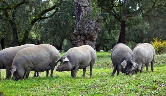 manifiesto-porcino-iberico-producido-condiciones-unicas