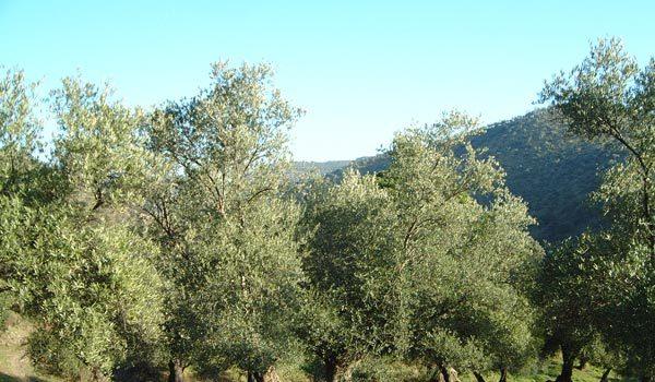 pp-pozoblanco-mocion-defensa-aceite-oliva