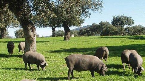 asaja-mocion-aytos-apoyo-cerdo-iberico-extensivo