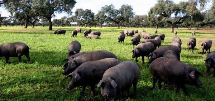 mocion-defensa-cerdo-iberico-en-extensivo