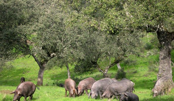 compran-cerdos-precios-irrisorios-la-crisis-covid-19