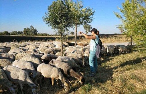 junta-amplia-40-millones-ayudas-al-sector-ovino-caprino