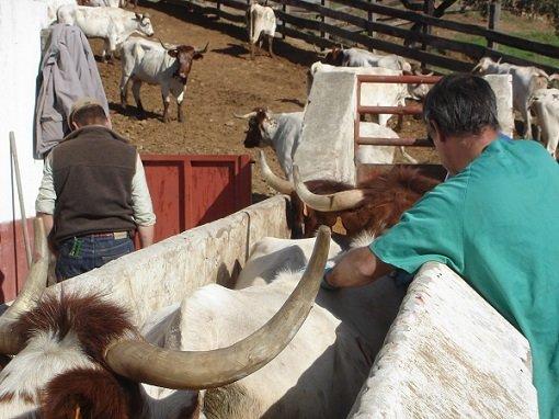 ayudas-junta-combatir-brucelosis-ovina-caprina-bovina