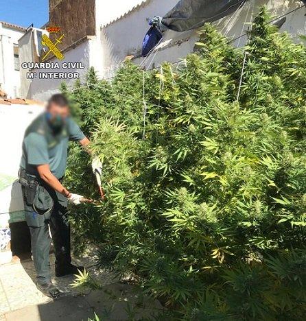 guardia-civil-desmantela-plantacion-de-marihuana-penarroya-2-metros-altura