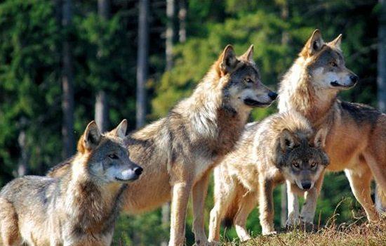 incrementar-proteccion-del-lobo-ataque-ganaderia-norte-provincia