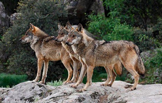 pp-cordobes-inclusion-lobo-sierra-morena-coloca-ganaderos-peligro-extincion