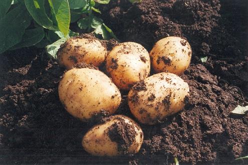 agricultura-anima-consumir-patata-nueva-andalucia-mejores-cualidades-gastronomicas